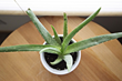 Rise in Demand for Aloe Vera Could Mean Higher Prices
