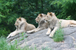 Coalition of Young African Lions Join Oakland Zoo Family