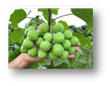 Jatropha Fruit