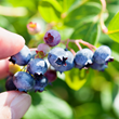 Brookhaven Retreat Recognizes National Blueberry Month by Sharing Blueberry Mint Lemonade Recipe in July.
