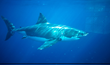The Great White Hope, a Shark Deterrent That Works