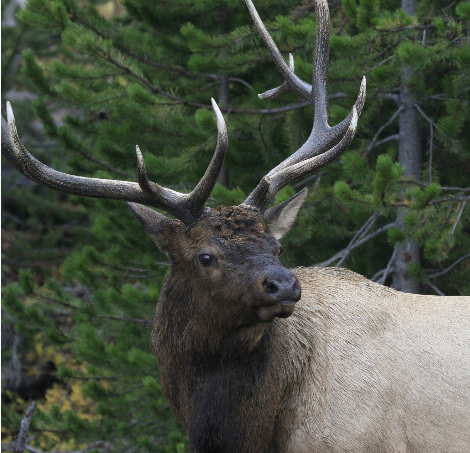 Wildlife Expeditions Yellowstone Fall Elk Bugling Wolves