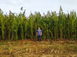 Bluebird's founder and CEO, Brandon Beatty, measuring up against their enormous hemp crops.