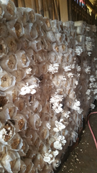 Mushrooms in Ghana Project Plans Spawn Laboratory for Ghana