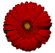 Jolie's Gerbera Daisy - the flower of the film