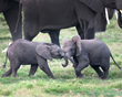 "African Travel, Inc. Celebrates ""World Elephant Day"" Every Day"