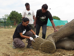 Wildlife SOS – India works to help injured and sick elephants