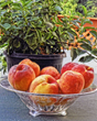 Franklin County Visitors Bureau Invites all to Taste Local, Delicious Peaches