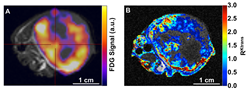 Simultaneous PET-MRI images of A549 lung tumor in a mouse