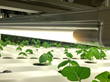 Transcend Lighting Releases Results from Horticulture Lighting Upgrade: Instant Payback, Higher Profit