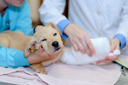 A puppy receives veterinary care at Hannah the Pet Society in Portland, Oregon.