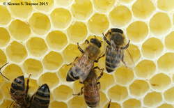 Honey bees storing nectar in comb. When it has fully ripened into honey, the bees will cap the hexagon cells with wax. Credit: Kirsten Traynor