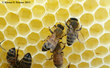UMD-led Study: High Number of Pesticides Within Colonies Linked to Honey Bee Deaths