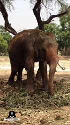 Mohan, emaciated and chained up, circa March 2016.