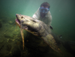 Dr. Zeb Hogan seen underwater with a Goonch Catfish in India