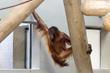 """Denver Zoo welcomes 8-year-old, female orangutan """"Eirina"""""""