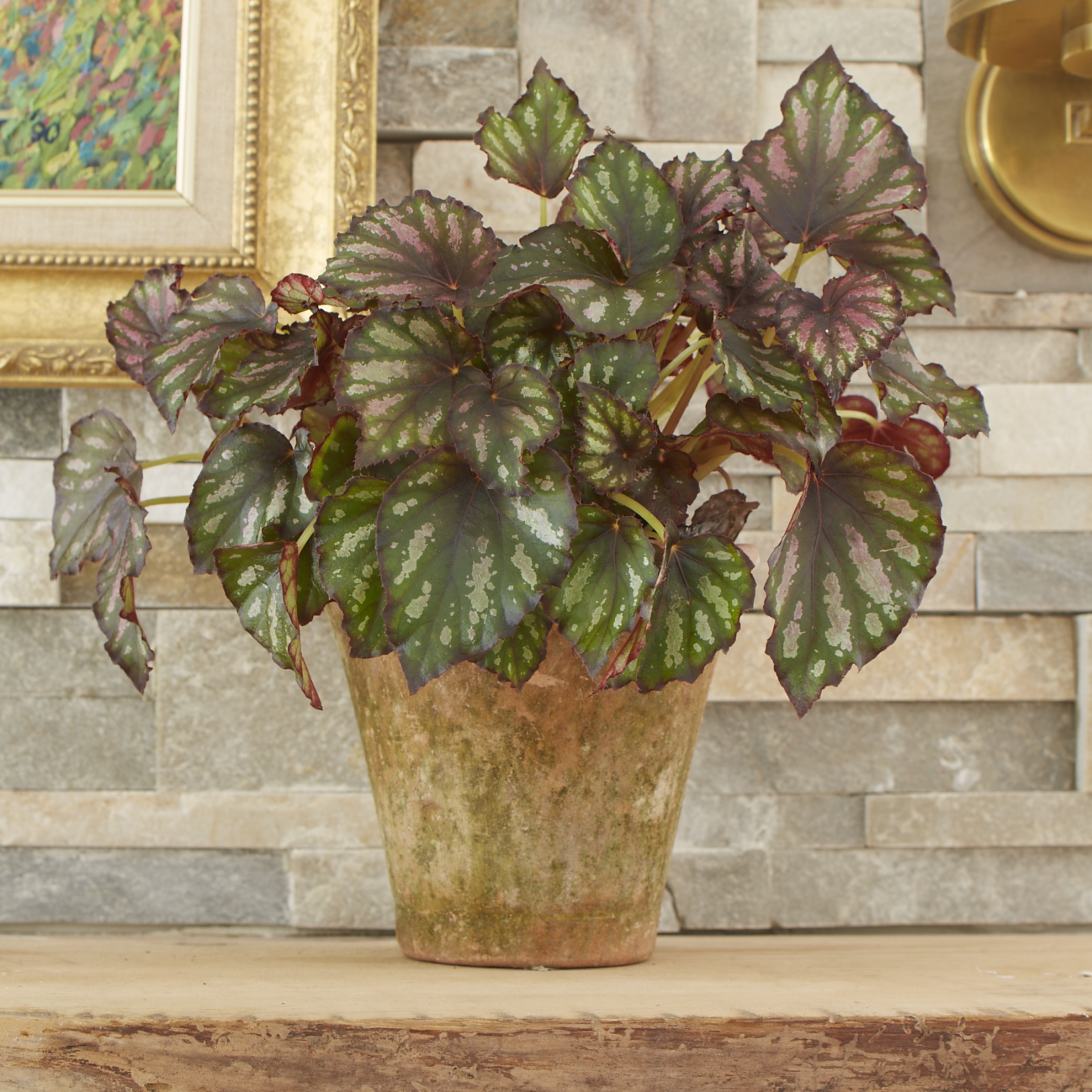 Begonia%20rex%20201660839 Elegant Looking Houseplants on looking cool, looking funny, looking masculine, looking stylish,