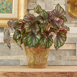 costa farms, exotic angel plants, rex begonia