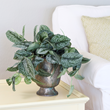 costa farms, exotic angel plants, fall decorating