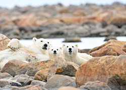 Polar bear family at Seal River Heritage Lodge. Ian Johnson photo.