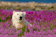 Polar bear in fireweed at Seal River Heritage Lodge. Dennis Fast photo.