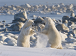 Polar bears sparring at Seal River Heritage Lodge. Dennis Fast photo.