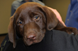 10-Week-Old Chocolate Lab - Matty
