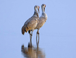 Join us November 4-6, 2016 for the 20th Annual Sandhill Crane Festival