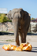 Denver Zoo Elephant Pulverizes Giant Pumpkins Ahead of Boo At The Zoo Events