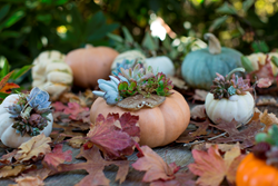 Embellish novelty pumpkins and ornamental gourds with succulents and seashells.