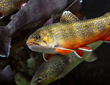 A Southern Appalachian Brook Trout