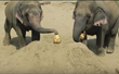 Pumpkins for Pachyderms: Elephants Enjoying Halloween Treats
