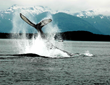 Harv and Marv's Alaska Whale Watching Tours Depart Daily This Summer with Easy Booking at New Website