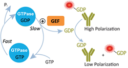 GTPase Assay Schematic
