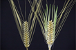 Okayama University research: Barley dormancy mutation suggests beer motivated early farmers
