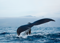 Visitors to the Islands of Loreto can experience one of nature's most magnificent creatures up close and personal with this special Whale Watching Adventure package.