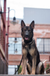 K-9 Gunner SVK9's New Bomb Dog