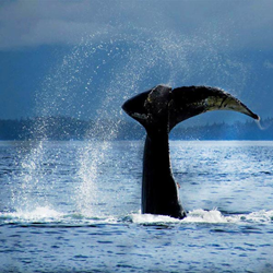 Alaska Whale Watching in Juneau