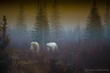Polar bears in the fog at Nanuk Polar Bear Lodge. Steve Schellenberg photo.