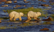 Polar bear cubs in river at Nanuk Polar Bear Lodge.