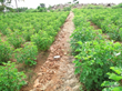 Jatropha Plantation for Yucatan