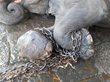 Close-up of shackles on the feet of Suraj the elephant, before his rescue from a temple in India.