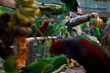 Team adding food and enrichment for Eclectus parrots
