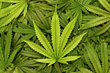 Shift in Some Teens' Use and Perceptions of Marijuana after Recreational Marijuana is Legalized