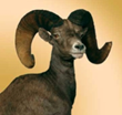 Wild Sheep Foundation's 40th annual convention features more than $6 million in online and live auctions