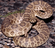 Danger is slated to attempt a jump over a pit filled with up to 2,000 rattlesnakes.