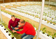 Tarek & Michael inspecting drip irrigation in hydroponic room growing tomatoes