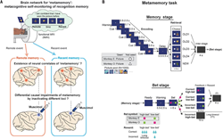 "Whole-brain functional localization of metamemory networks for ""remote"" and ""recent"" events via functional magnetic resonance imaging and behavioral reversible inactivation with a GABA-A receptor agonist in macaque monkeys performing a metamemory task."