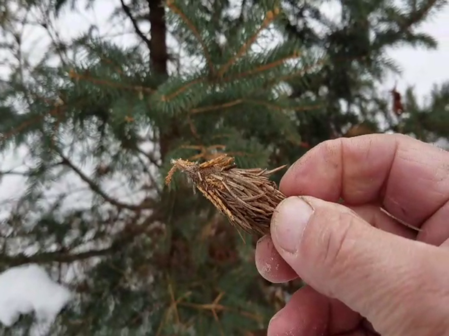 Bagworms Borers Adelgid And Other Deadly Insects Have