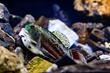colorful darter fish